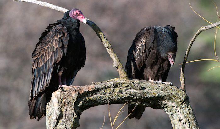 Turkey Vulture Adult and Juvenile